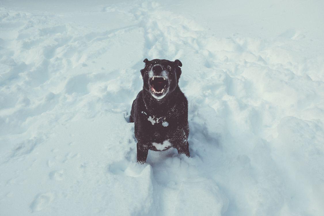 Фото бесплатно собака, оскал, снег, dog, grin, snow, собаки