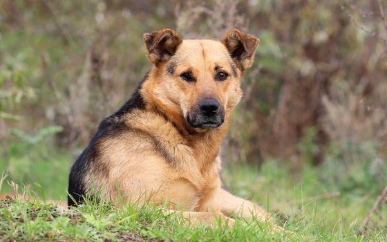Фото бесплатно собака, морда, пастух