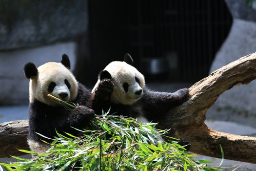 Фото бесплатно панда, озорной, друзья