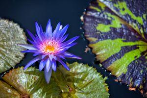 Фото бесплатно Водяные лилии, красивый цветок, водная красота