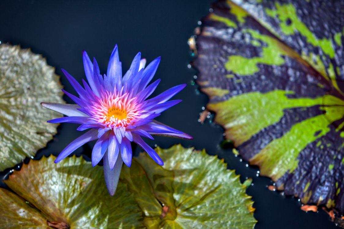 Free photo Water Lilies, beautiful flower, water beauty - to desktop