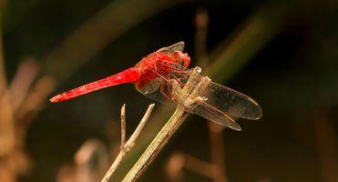 Бесплатные фото дикая природа,насекомое,беспозвоночный,стрекоза,бесцеремонный,макросъемка,организм