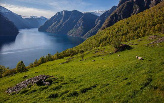 Photo free nature, sheep, Norway