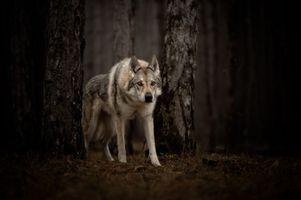 Заставки волк, хищник, животное, взгляд
