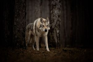 Photo free animal, wolf, look