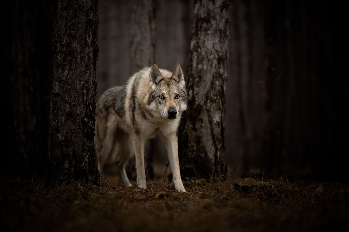 Photos for free animal, wolf, look - to the desktop