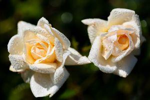 Белые розы на кусте · бесплатное фото