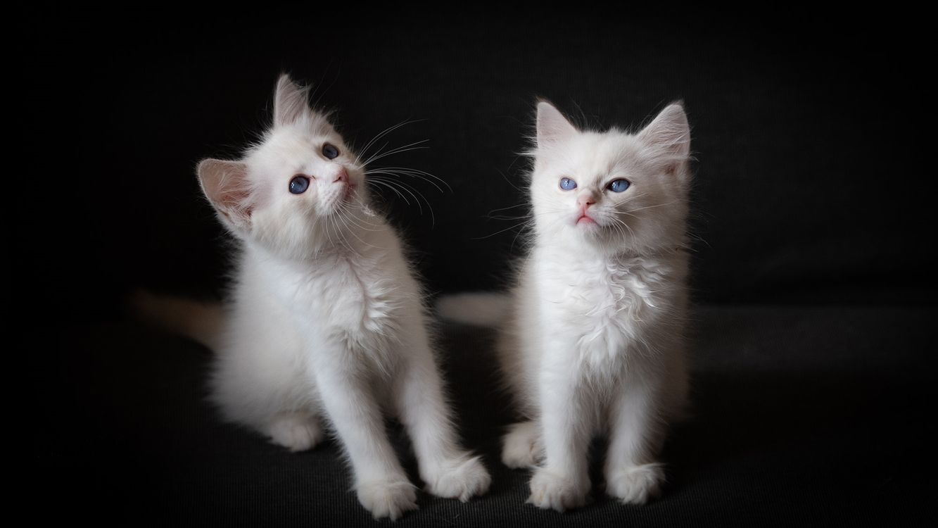 Фото бесплатно котята, белые, малыши - на рабочий стол