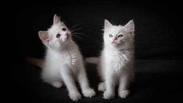 Заставки котята, белые, малыши