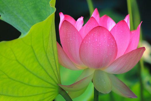 Фото бесплатно лотосы, красивые цветы, водная красота