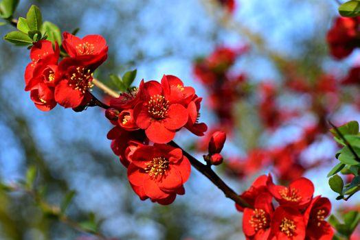 Фото бесплатно цветущая айва, цветок, цветущая ветка