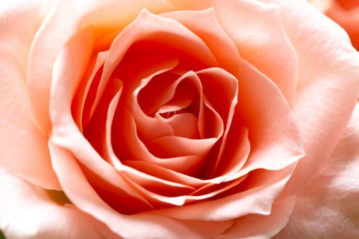 Роза макро