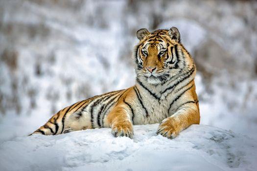 Заставки животное, хищник, зима