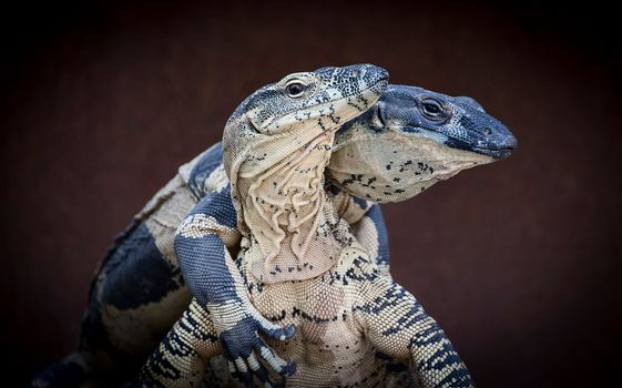 Photo free a genus of lizards of the family varanovich, Lizards, reptile