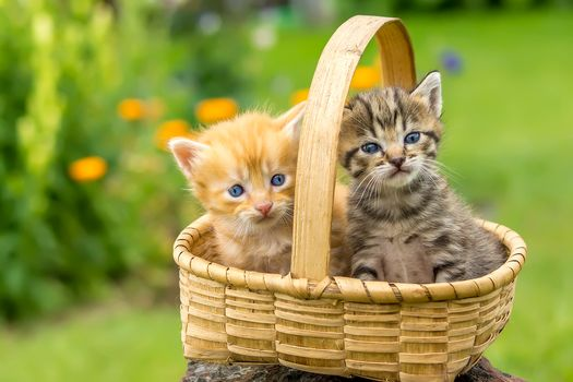 Beautiful kittens in a basket · free photo