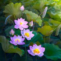 Бесплатные фото лотос, лотосы, цветы, флора, макрос, листья, природа