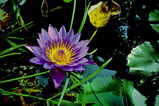 Photo free flowers, water lilies and without registration