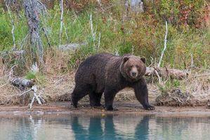 Фото бесплатно Животное, Аляска, Национальный парк Лейк Кларк