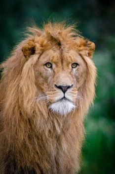 Photo free lion, king of beasts, face