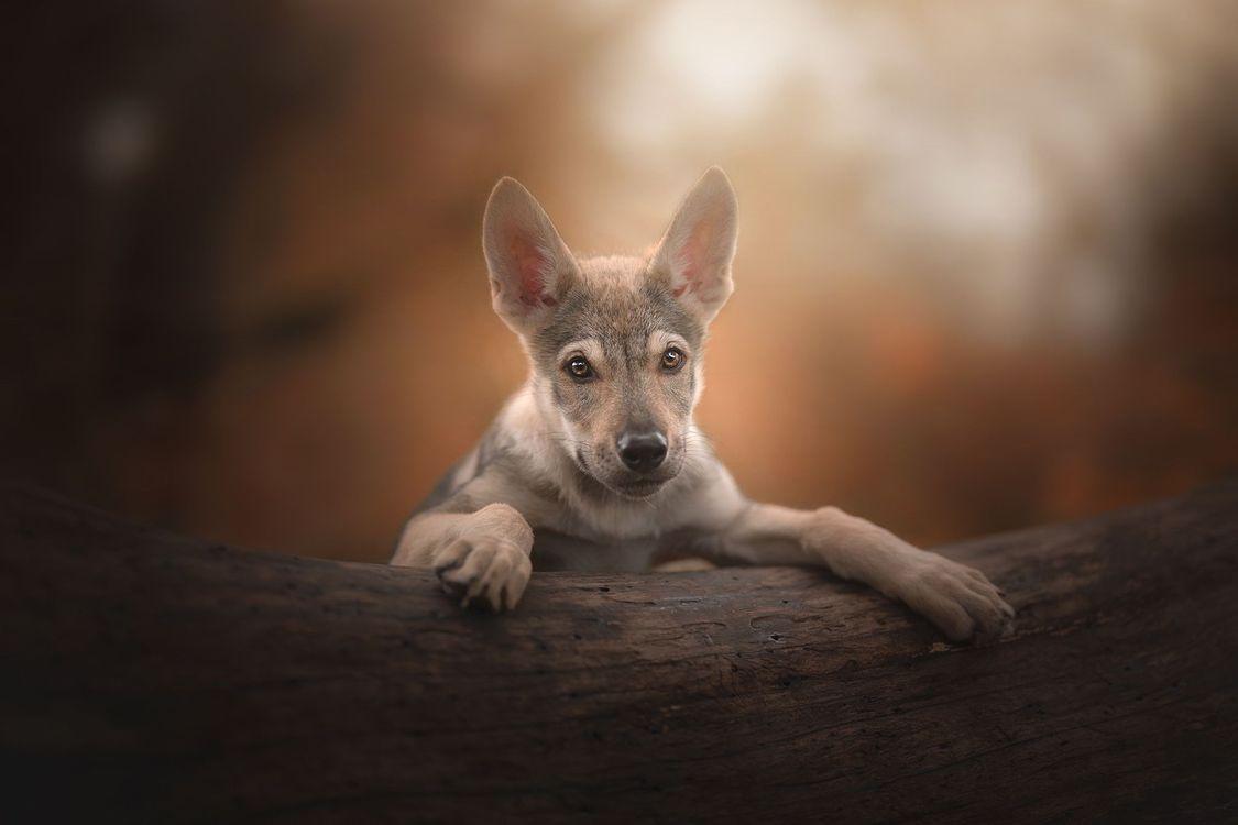 Обои щенок, чехословацкий волк собака, портрет картинки на телефон
