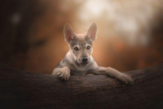 Заставки щенок, чехословацкий волк собака, портрет