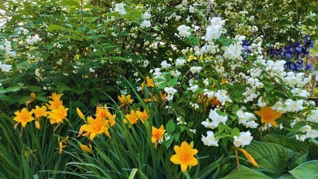Фото бесплатно Жасмин, весна, природа