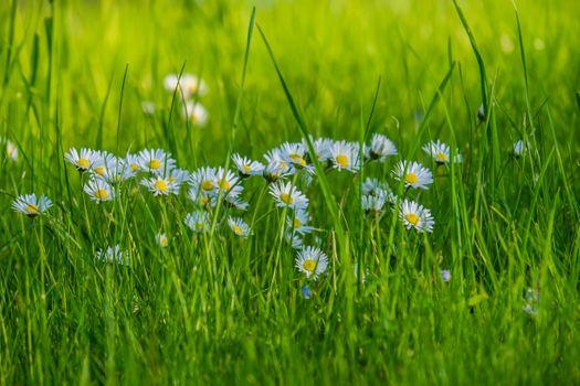 Фото бесплатно макросDaisy, цветы, трава
