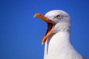 Фото бесплатно чайка, изолированный, фауна