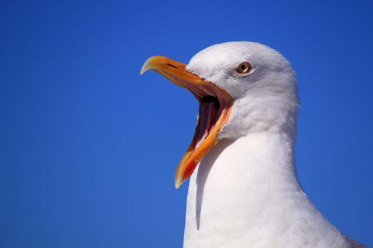 Photo free seagull, isolated, fauna