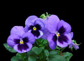 Фото бесплатно Виола, Анютины глазки, цветы