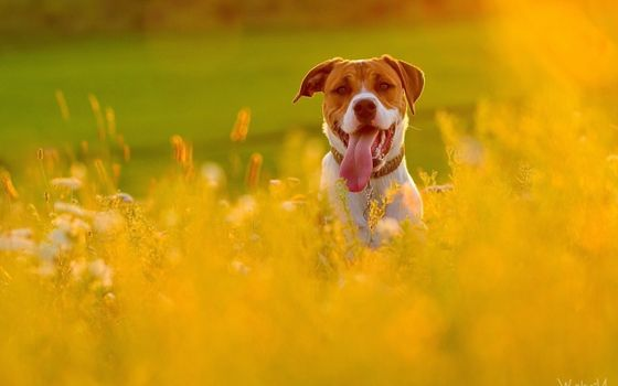 Фото бесплатно собака, поле, животные