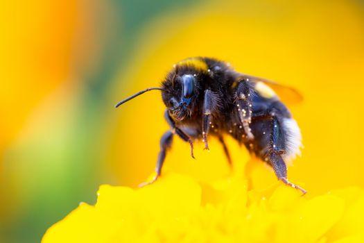 Bumblebee · free photo