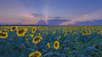 Бесплатные фото закат,поле,подсолнухи,цветы,флора,пейзаж