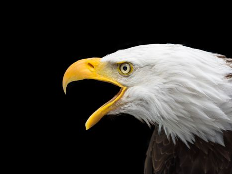 Photo free bald eagle, eagle, bird