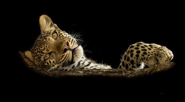 Заставки морда, большая кошка, дикая кошка