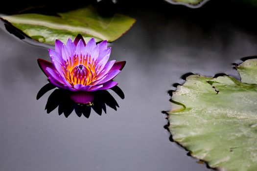 Photos water lilies, beautiful flowers desktop