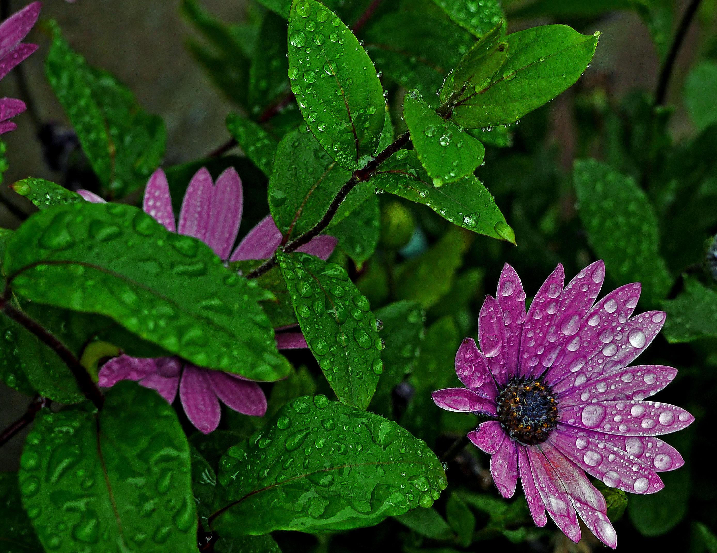 Обои цветок, листья, капли, флора