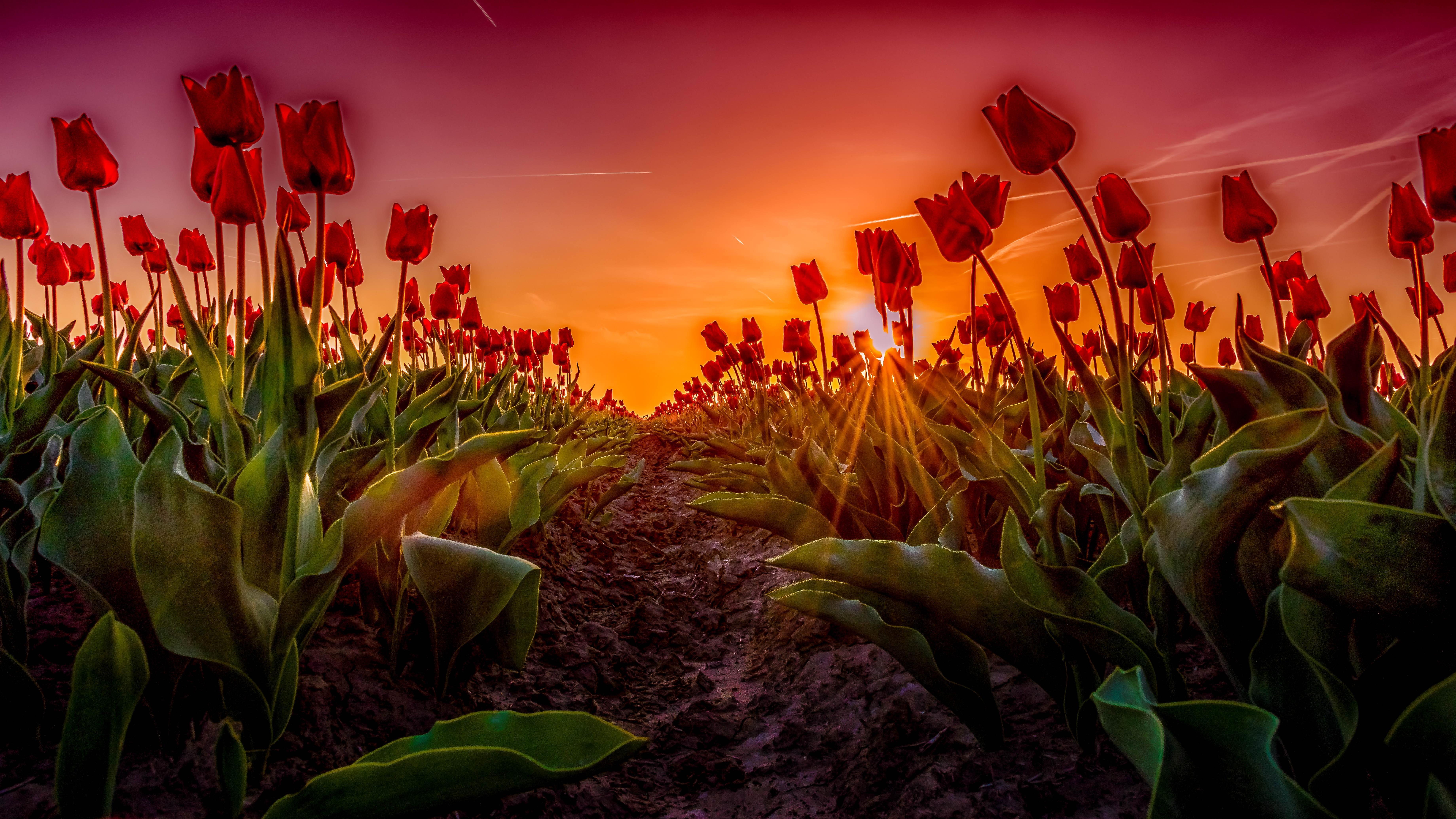Обои закат, поле, цветы, тюльпаны