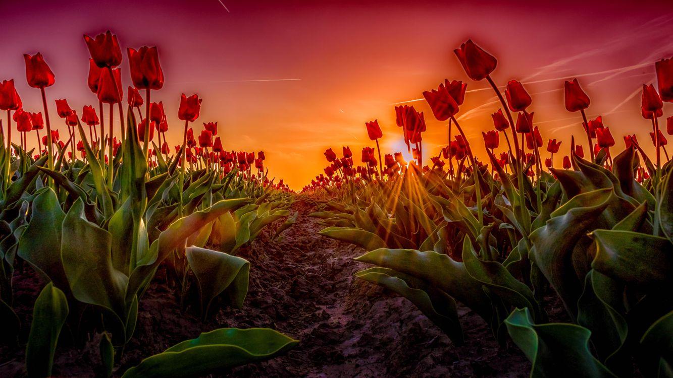Фото бесплатно закат, поле, цветы, тюльпаны, цветы