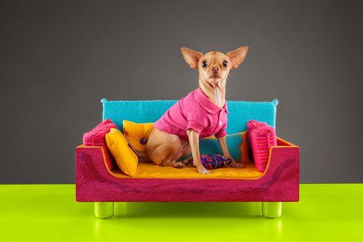 Фото бесплатно чихуахуа, собака, парода