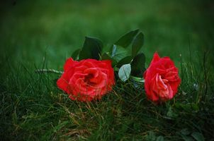 Фото бесплатно цветы, трава, розы