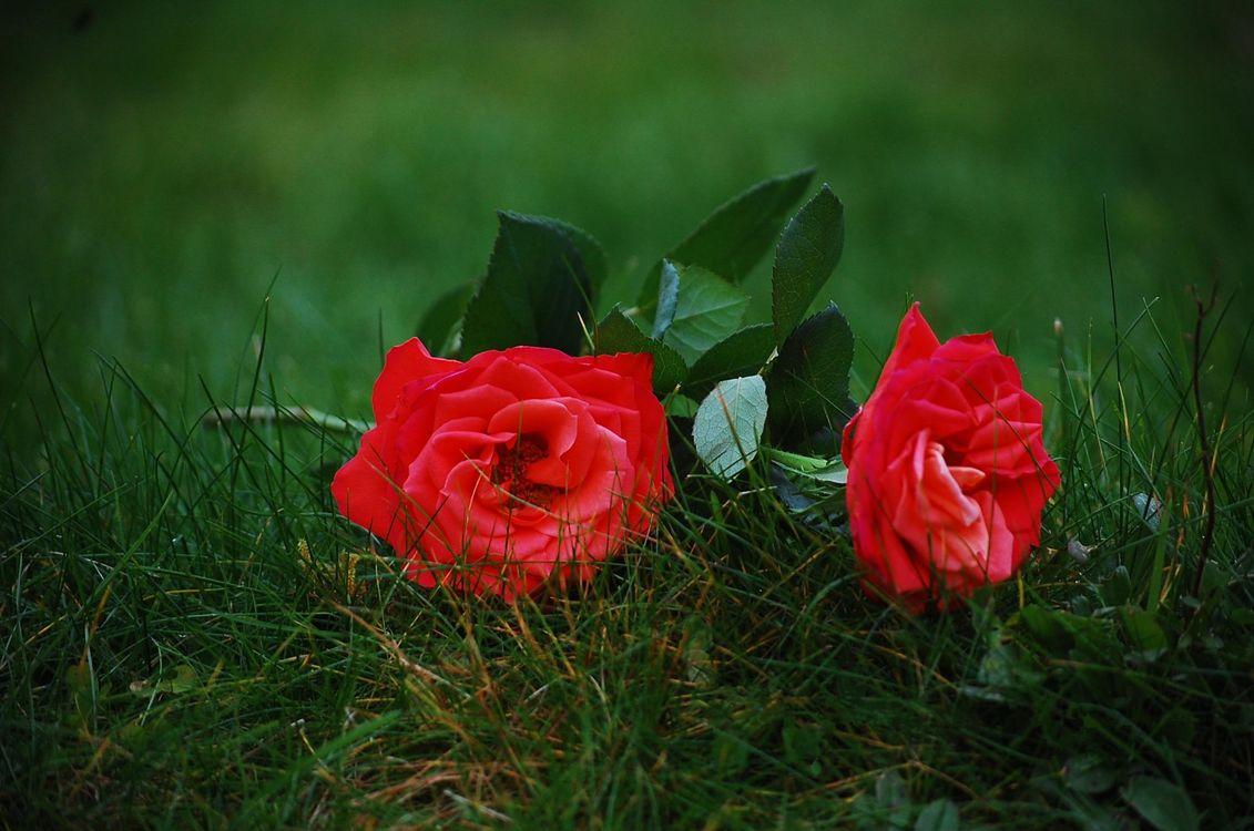 Фото цветы трава розы - бесплатные картинки на Fonwall