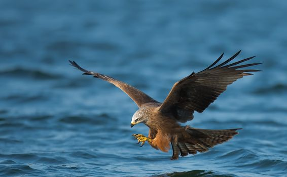 Фото бесплатно сокол, летать, море