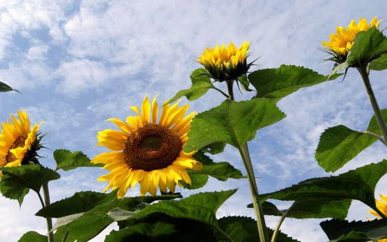 Фото бесплатно подсолнухи, листья, облака