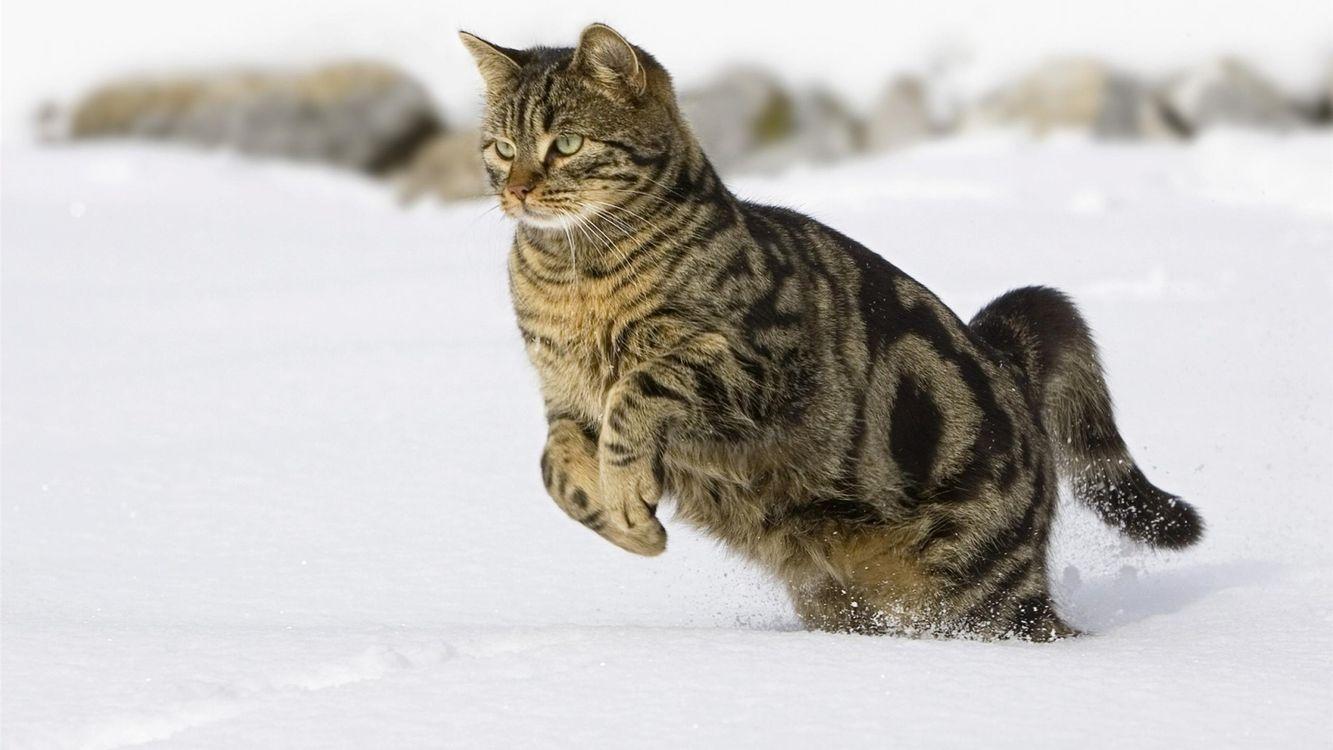 Обои кот, снег, прыжки картинки на телефон