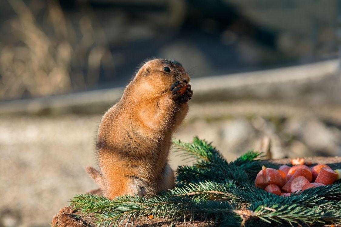 Обои Суслик, грызун, ест, gopher, rodent, eats на телефон | картинки животные