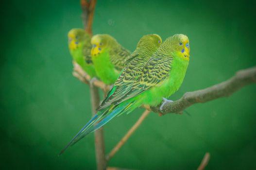 Фото бесплатно волнистый попугай, птица, пернатый