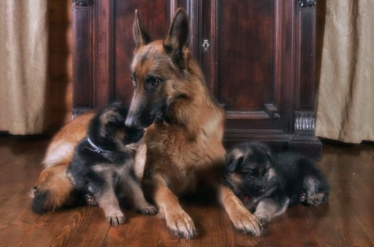 Фото бесплатно немецкая овчарка, щенки, сидят