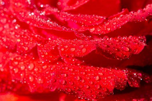 Макро лепестков алой розы