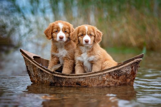 Photo free Nova Scotia duck tolling Retriever Toller, dog, puppies